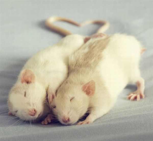 תמונות מתוקות של עכברים