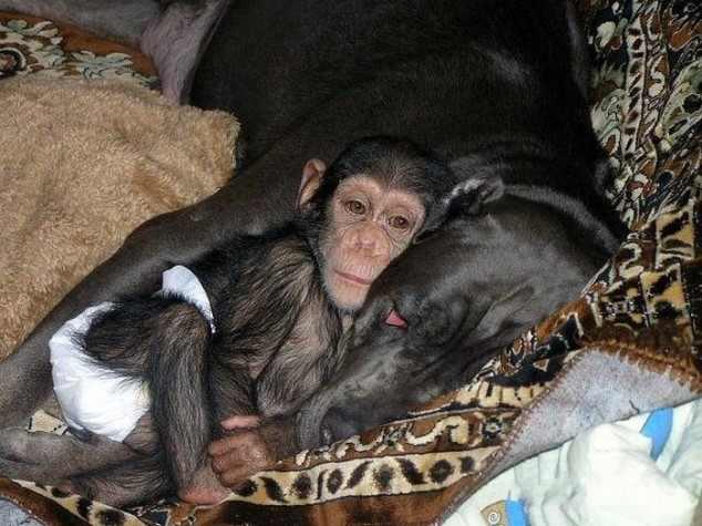 כלבה מאמצת גור שימפנזה