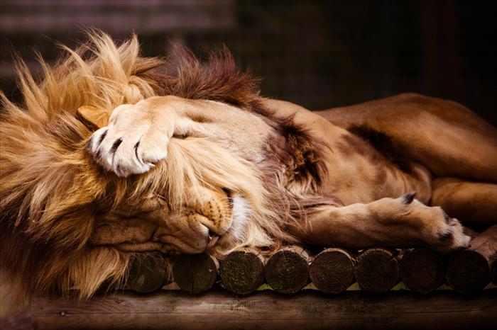 תמונות של אריות