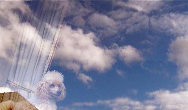 כלבים מביטים מחלון