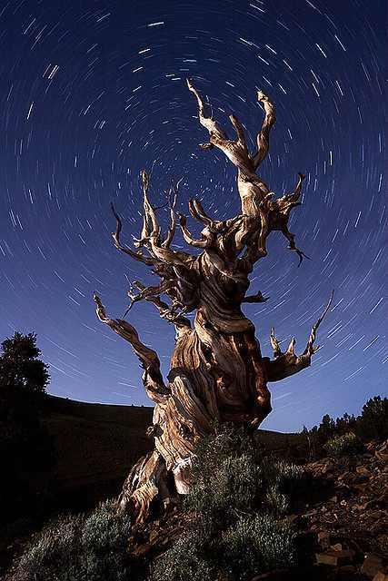 העצים העתיקים בעולם