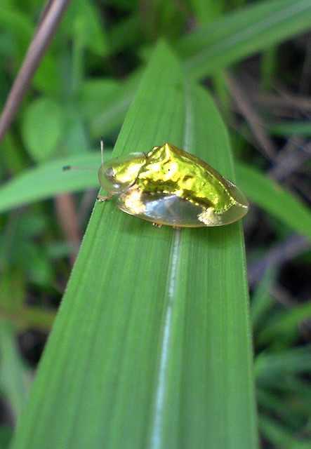 חיפושית זהב