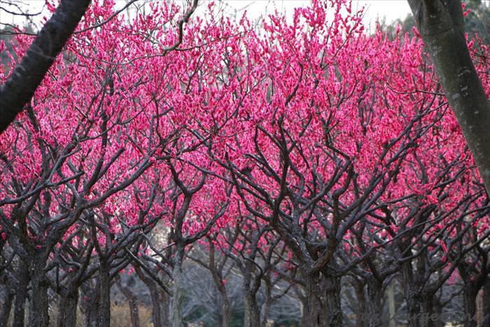 עץ יפני יפה