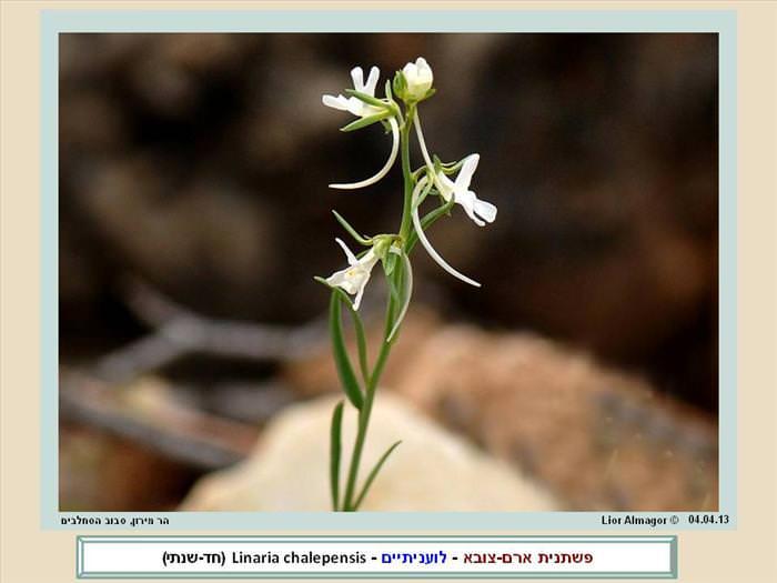 אוסף תמונות של פרחי בר בישראל