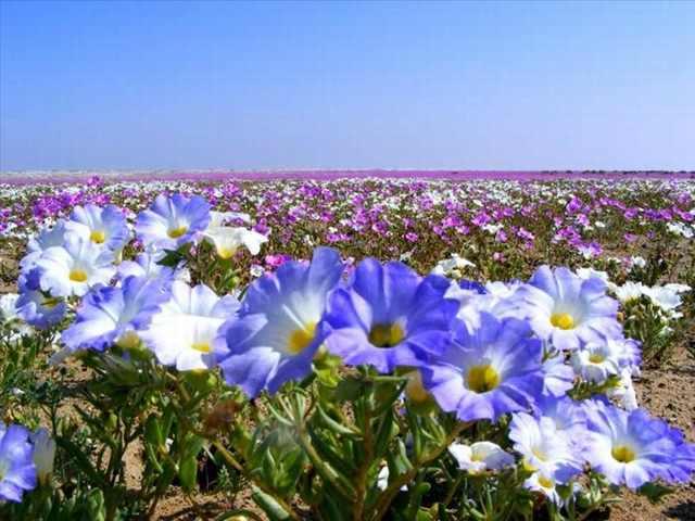 לא תאמינו איך מדבר הפרחים הזה משנה את הנוף מצהוב לצבעוני