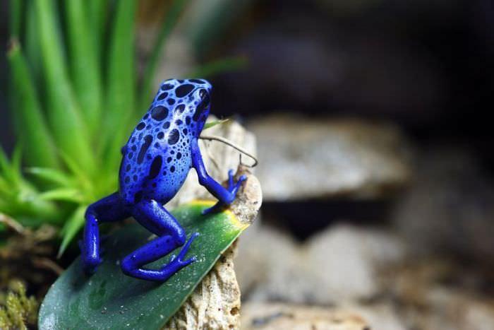 צפרדע כחולה על עלה