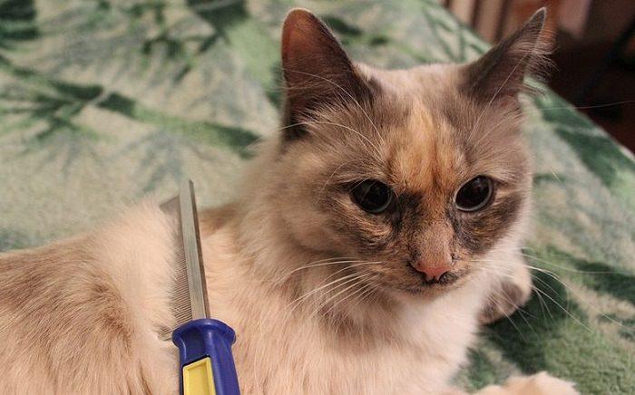 סירוק חתול
