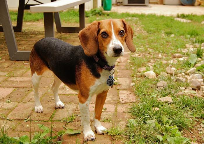 זני כלבים מ-א' ועד ת': ביגל