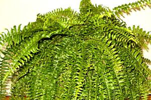 צמחים מטהרים