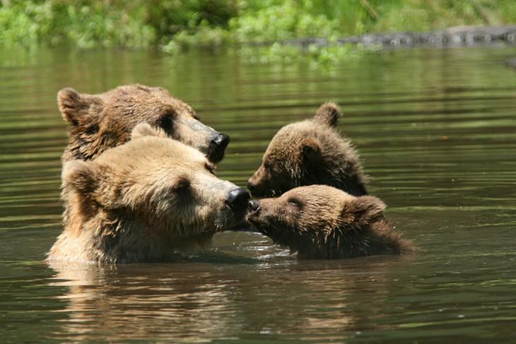 אבא ואמא דובים מנשקים את צמד גוריהם בזמן שהם שוחים במי נהר
