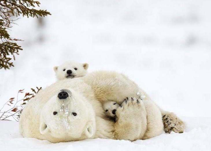 אמא דובה מחבקת את הגורים שלה