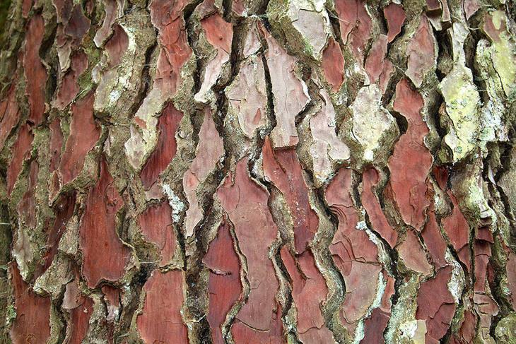 קליפת עץ האורן הצרפתי