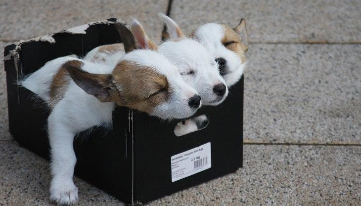 גורי כלבים ישנים בתוך קופסה