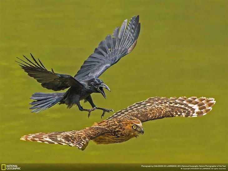 עורב רודף אחר ינשוף