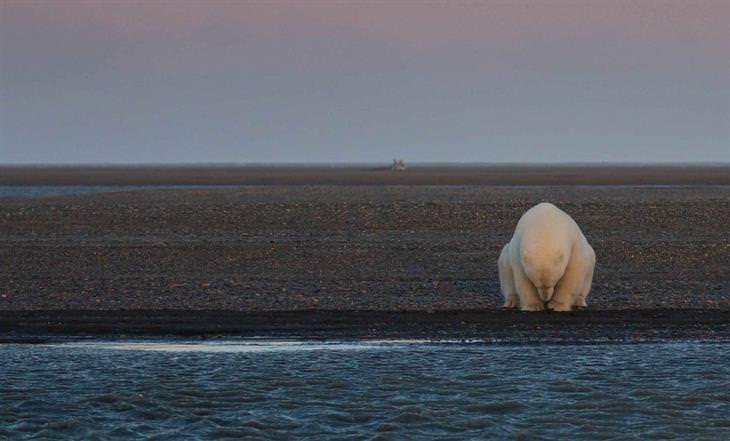 דוב קוטב יושב לבדו