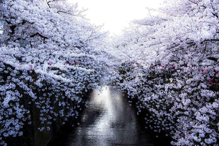 פריחת הדובדבן ביפן