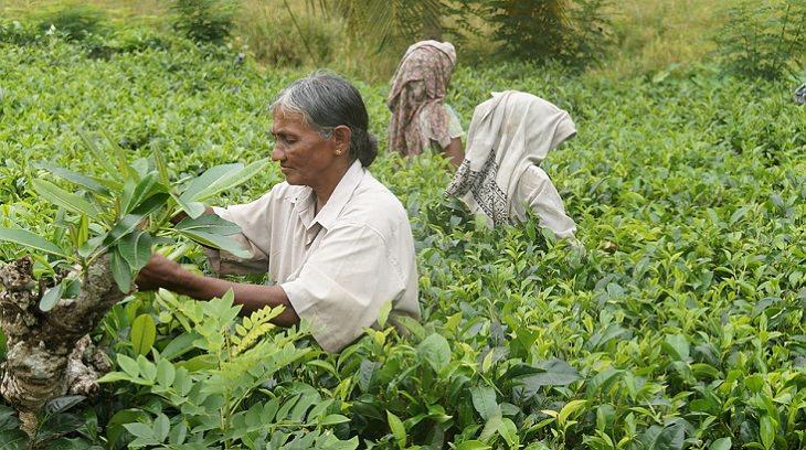 שתיית תה ירוק למניעת סוכרת מסוג 2