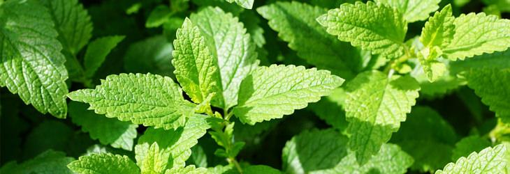 תרופות טבעיות נגד הרפס: צמחי נענע