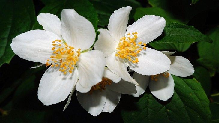 מדריך לגידול פרחים: יסמין