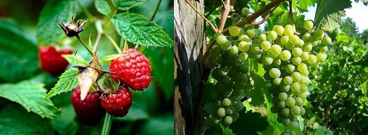 שילובי מזון לריפוי דלקות: ענבים ופטל
