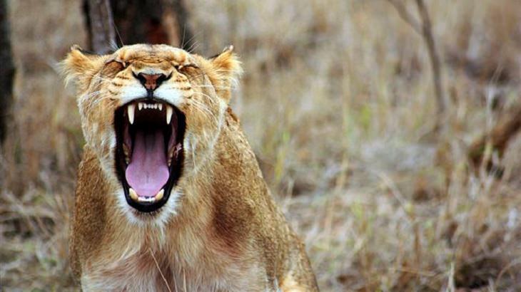 התמודדות עם כעס: לביאה שואגת