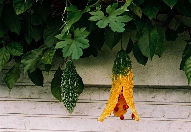 חוקרים מצאו צמח מציל חיים: מלון מר בשל תלוי מצמח הלעוסית