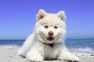 מזונות מומלצים לחיות מחמד: כלב לבן יושב על חול בחוף הים