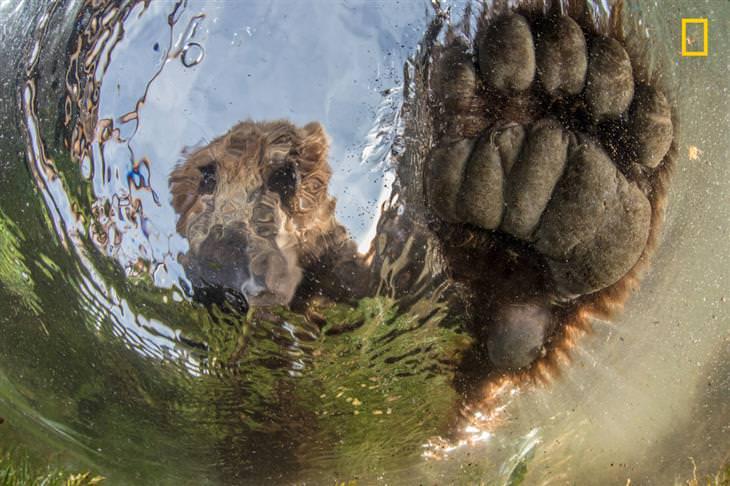 תחרות צילומי טבע של הנשיונל ג'יאוגרפיק: דב משכשך במים בקמצ'טקה, רוסיה