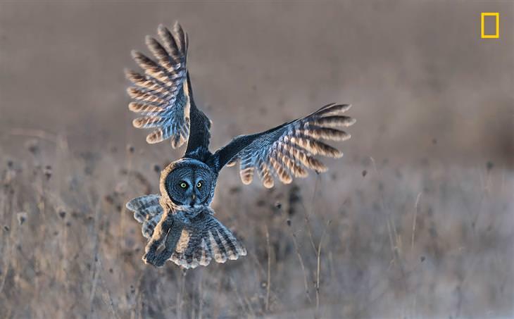 תחרות צילומי טבע של הנשיונל ג'יאוגרפיק: לילית אפורה מתחילה את מעופה עם בוא החורף