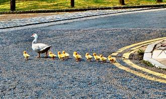 בחן את עצמך - תפקידך במשפחה: ברווזה מובילה אפרוחיה בכביש