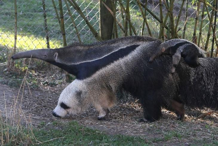 תמונות משעשעות שצריך להסתכל עליהן פעמיים: דוב נמלים עם רגל שנראית כמו פרצוף של דוב פנדה