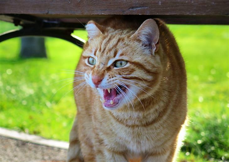 טעויות עם חיות המחמד: חתול חושף שיניים