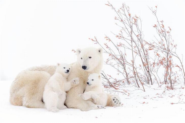 תחרות הצילום של אגודת צלמי הטבע הגרמנית לשנת 2017: משפחה של דובי קוטב - אמא ושני גורים