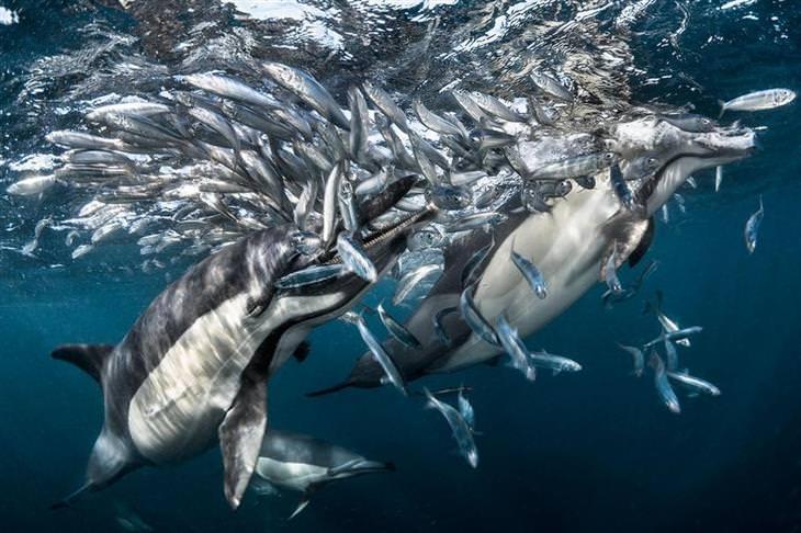 תחרות הצילום של אגודת צלמי הטבע הגרמנית לשנת 2017: שני דולפינים טורפים להקת דגים