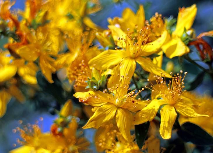 יתרונות בריאותיים של פרע מחורר: פרחי פרע מחורר