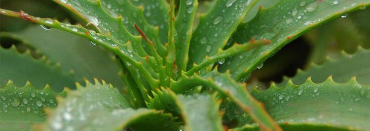 תרופות סבתא להעלמת סימני מתיחה: צמח אלוורה