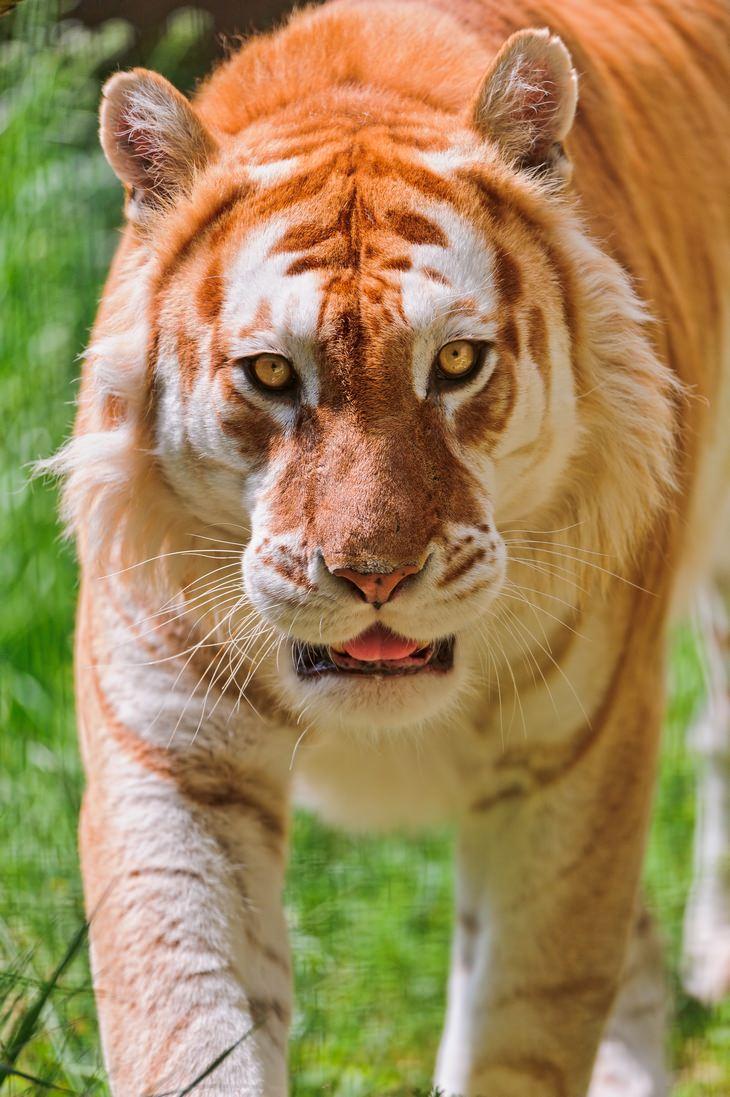 חיות נדירות עם צבעים מיוחדים: טיגריס מוזהב