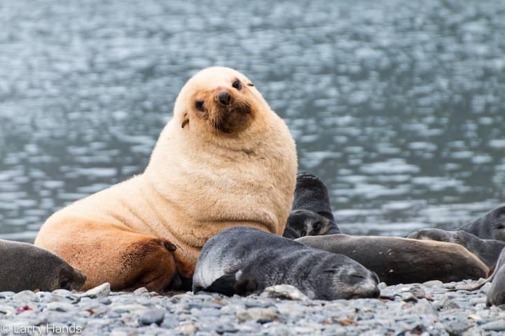 חיות נדירות עם צבעים מיוחדים: דוב ים אנטארקטי