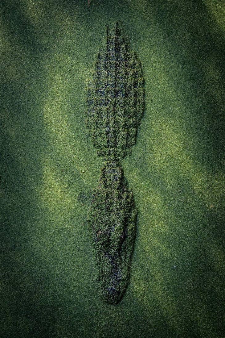 תחרות תמונות טבע נשיונל גיאוגרפיק 2017: תנין מוסווה תחת נהר ירוק