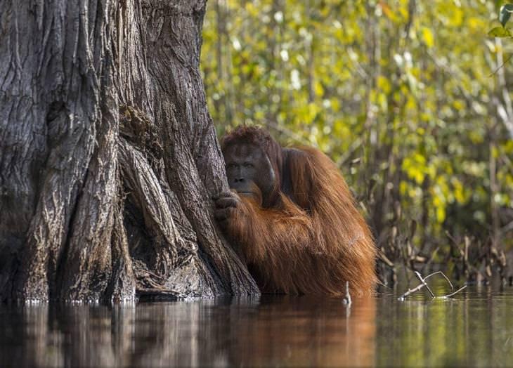 תחרות תמונות טבע נשיונל גיאוגרפיק 2017: אורנג אוטן מציץ לצד עץ