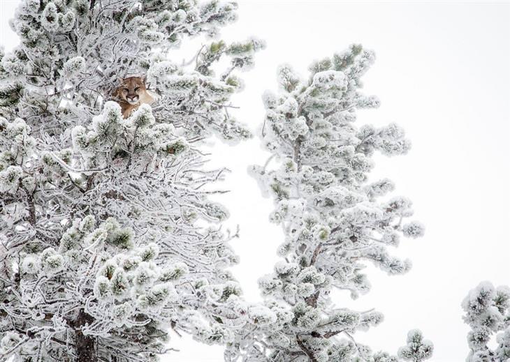 תחרות תמונות טבע נשיונל גיאוגרפיק 2017: פנתר עומד בין עצים מושלגים