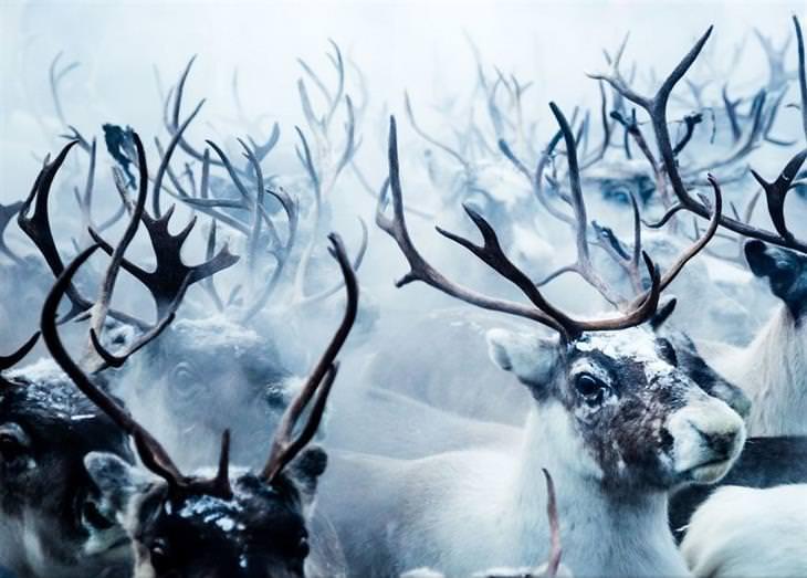 תחרות תמונות טבע נשיונל גיאוגרפיק 2017: איילים עומדים בקבוצה