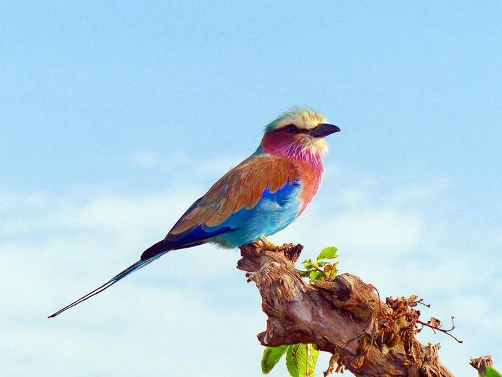 ציפורים אקזוטיות מרחבי העולם: כחל לילכי