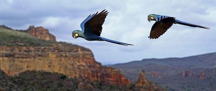 ציפורים אקזוטיות מרחבי העולם: ארה ליר