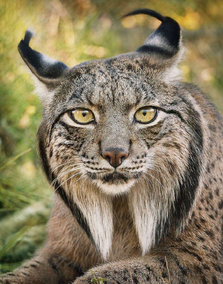 חיות בסכנת הכחדה:  שונר איברי - Iberian Lynx