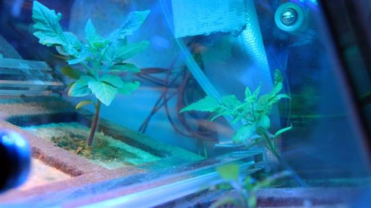 צמחים גדלים בתוך חממה מלאכותית