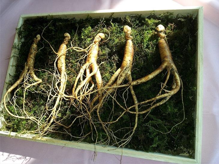 יתרונות בריאותיים של צמח הג'ינסנג: שורש ג'ינסנג