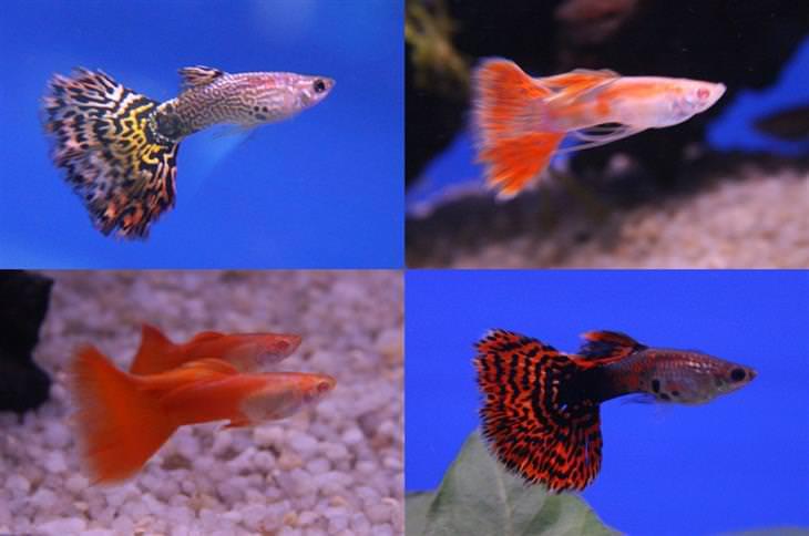 דגים מומלצים לגידול: דגי גופי שונים