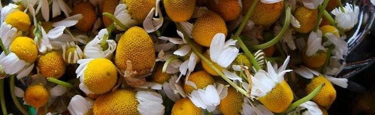 פרחי קמומיל