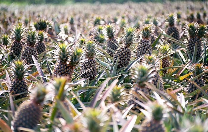 פירות וירקות בצורתם הטבעית בשדה: אננס